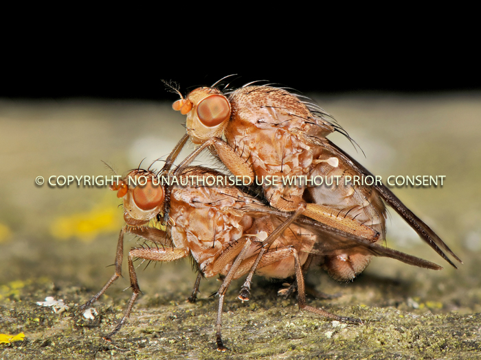 Sciomyzidae Flies Mating by Bruce Campbell