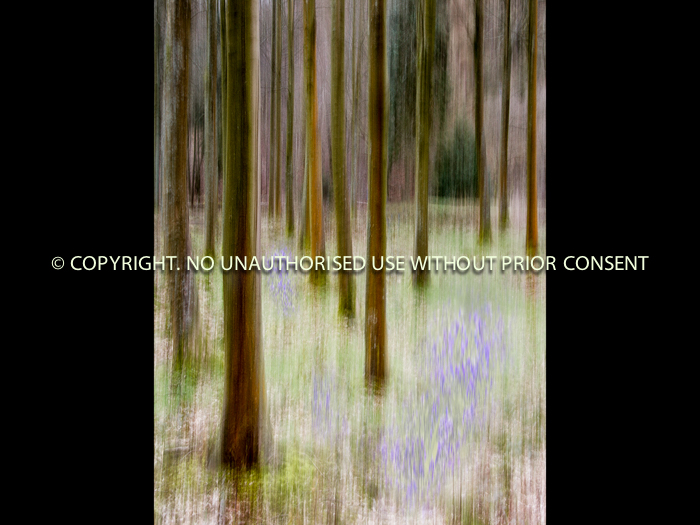 THE BLUEBELL WOOD by Jonathan Vaines