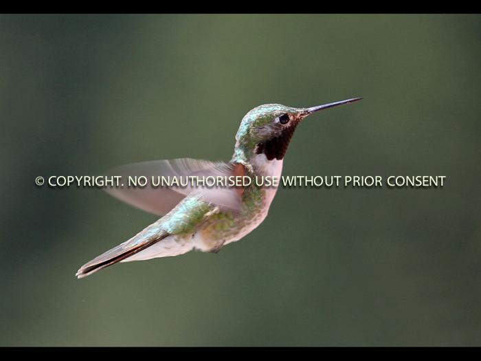 HUMMINGBIRD IN FLIGHT by Don Byatt