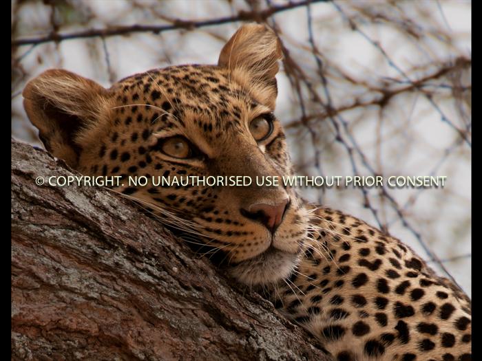 TANZANIAN LEOPARD by Emily Cosby