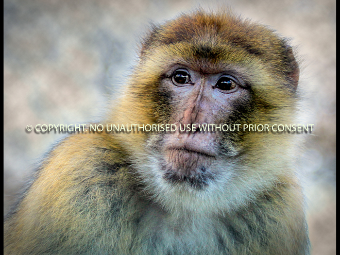 BARBARY APE by Sue Vaines.jpg