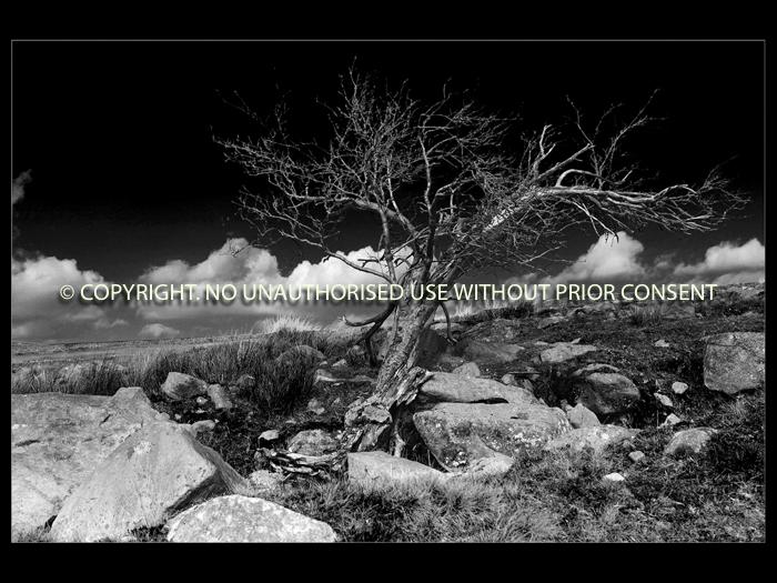 LONE TREE by Mark Jones.jpg