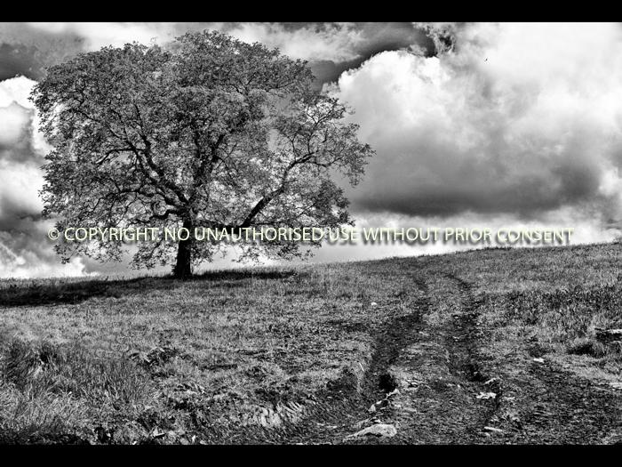 TREE IN MUDDY FIELD by Ian Mellor.jpg