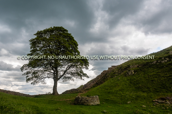 THE SYCAMORE TREE  by Sue Martin.jpg