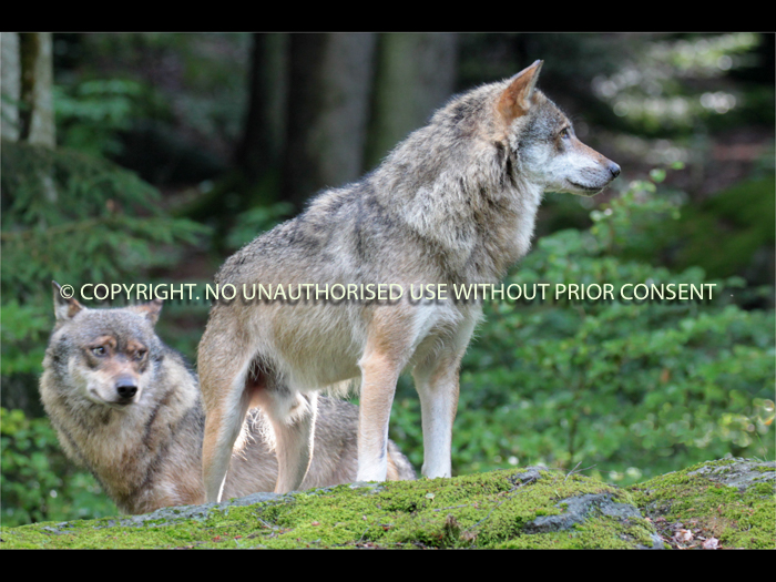 WOLVES ON LOOKOUT by Clive Williams.jpg