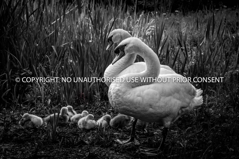 SWANNING AROUND WITH THE CYGNETS by U Gavin.jpg