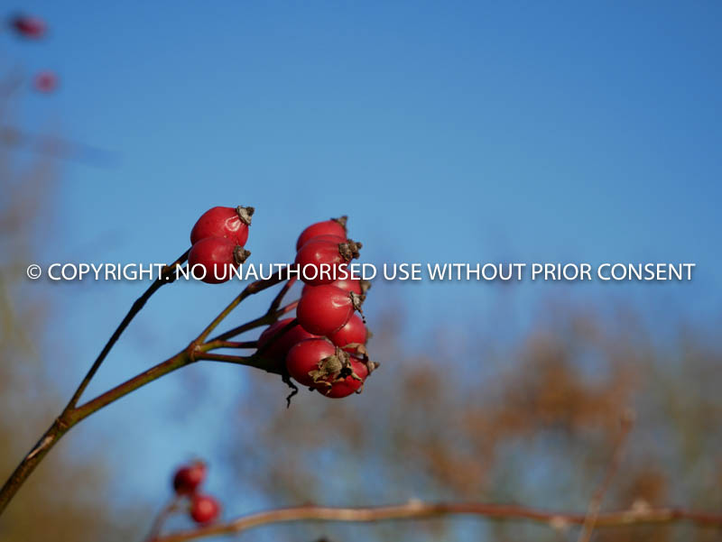 CHRISTMAS ROSE HIPS by Mike Newman.jpg