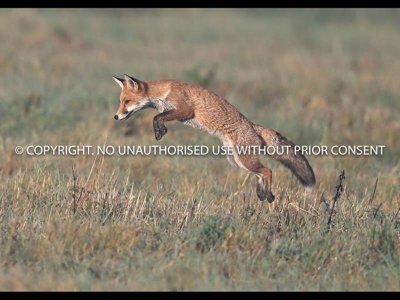 FOX IN FLIGHT by Neil  Schofield.jpg