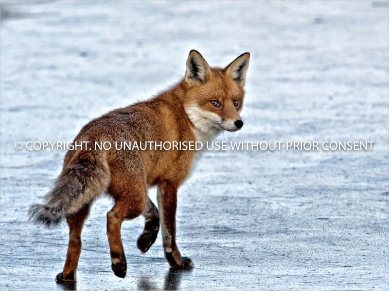 FOX ON ICE by Petar Maric (1).jpg