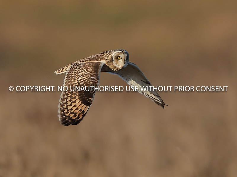 SHORT EARED OWL by Linda  Sutton.jpg