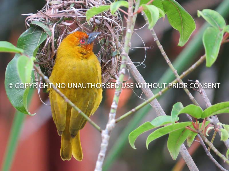 WEAVER BIRD by Jackie Adams.jpg