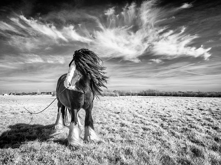 Rasta Horse - By Colin Mill