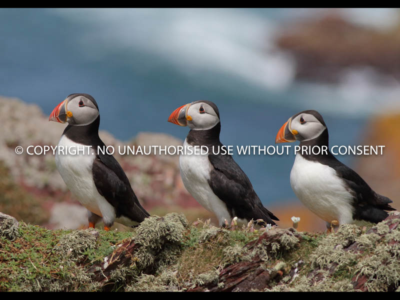 MIGHTY PUFFINS by Linda Sutton.jpg