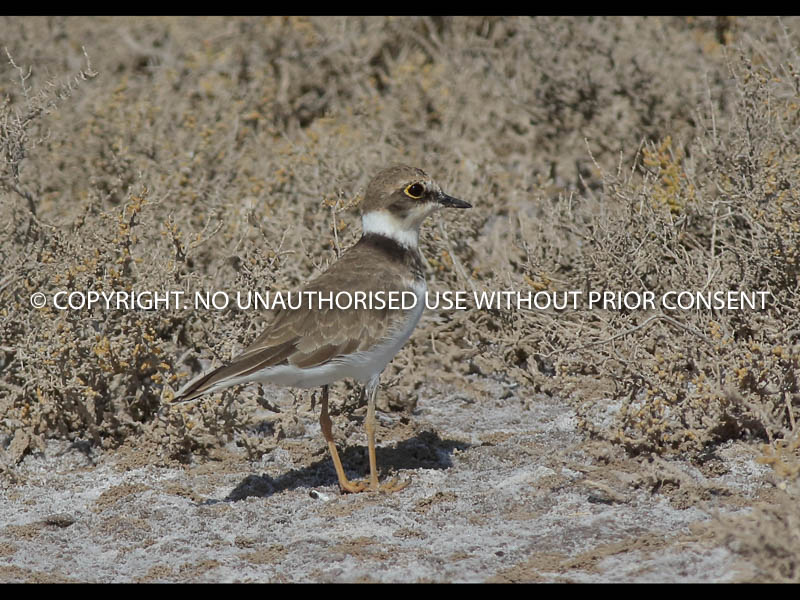 LITTLE RINGED PLOVER by Linda  Sutton.jpg