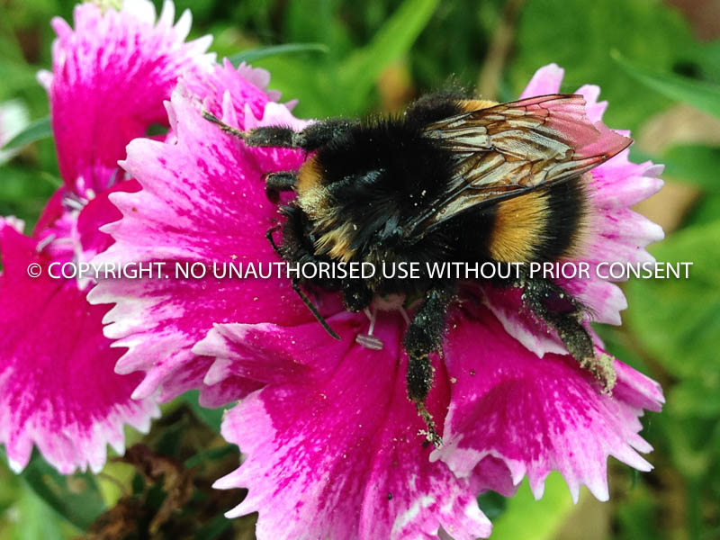 BEE PRETTY ON PINK by Kim  Woodhouse.jpg