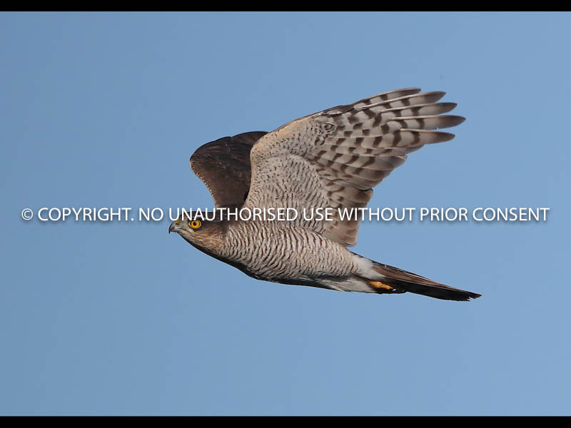 SPARROWHAWK IN FLIGHT by Neil Schofield.jpg