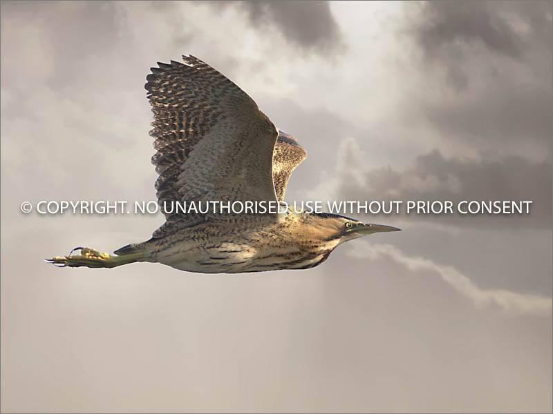 BITTERN IN FLIGHT by Petar Maric.jpg