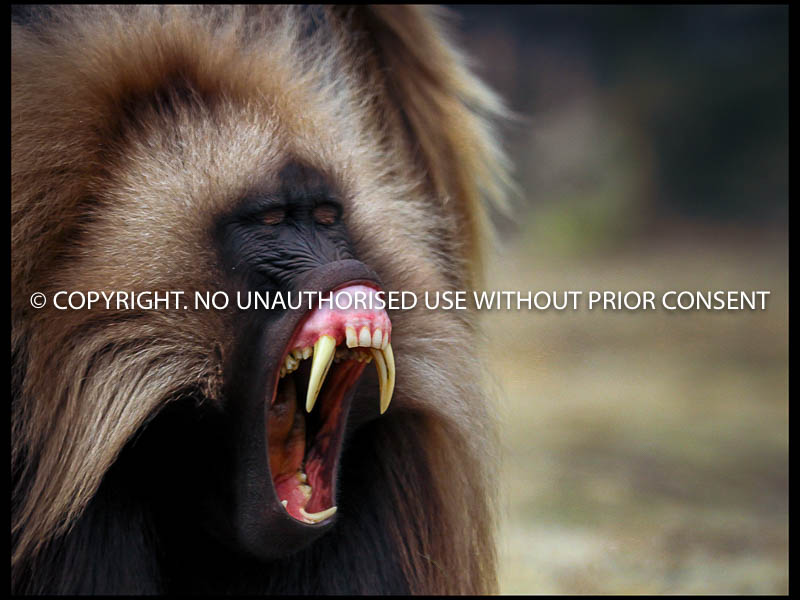 GELADA by s white jnr.jpg