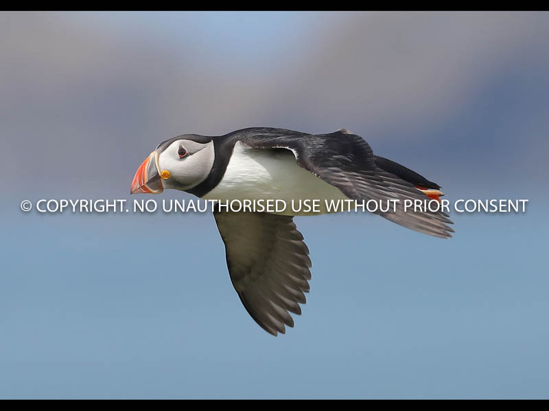 PUFFIN IN FLIGHT by Neil Schofield.jpg