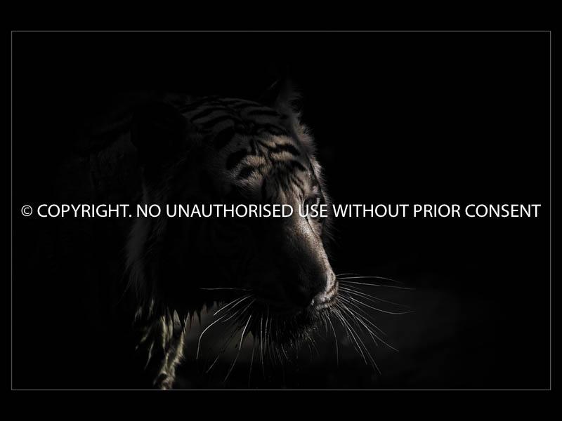 TIGER by Mark Jones.jpg