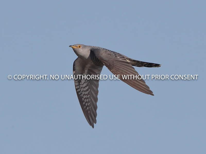 CUCKOO IN FLIGHT by Neil  Schofield.jpg