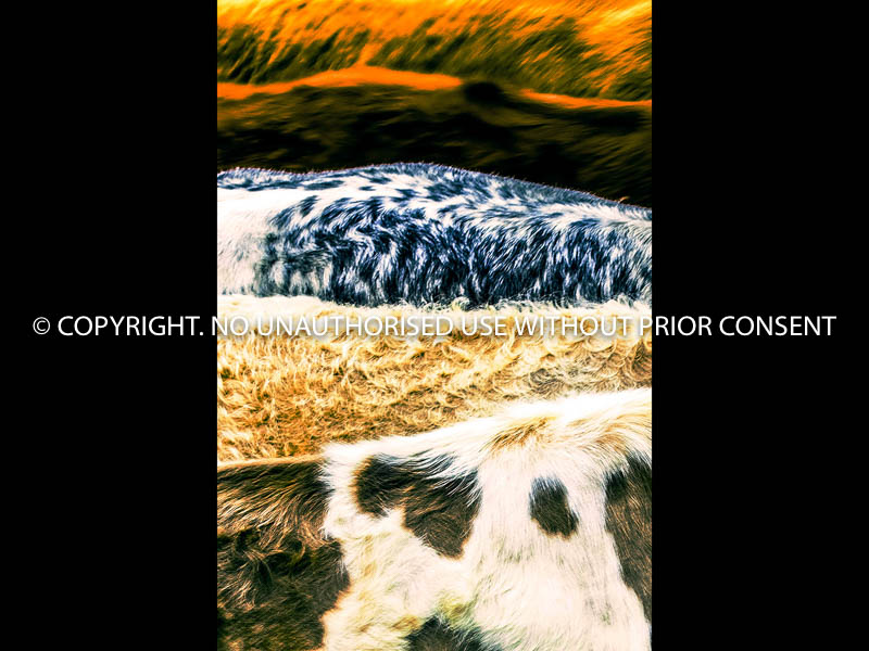 CATTLE LANDSCAPE by Tina Pritchard.jpg
