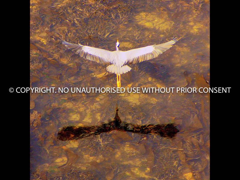 HERON FLYING OVER WATER by John Warren.jpg