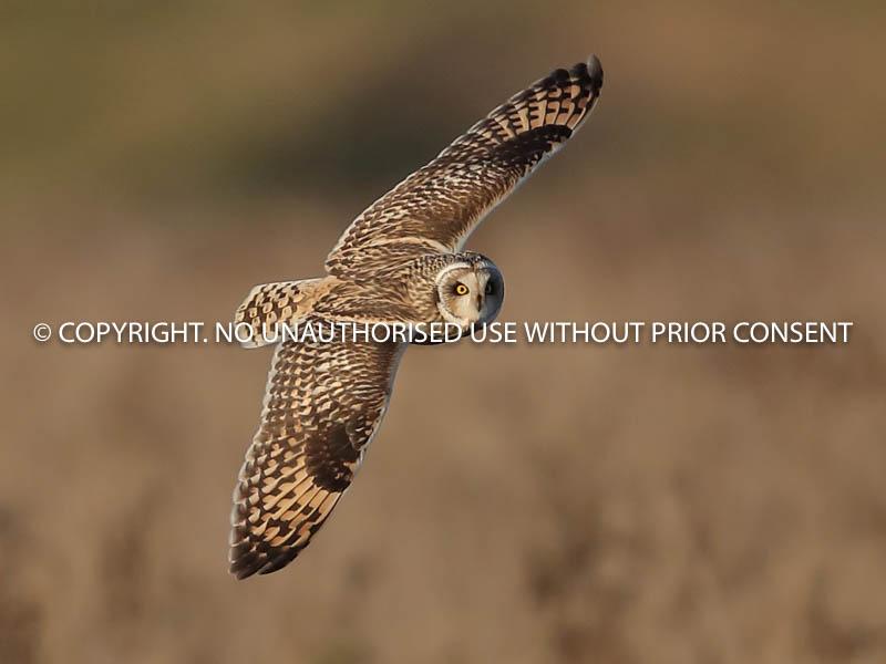 SHORT EARED OWL by Linda  Sutton (1).jpg
