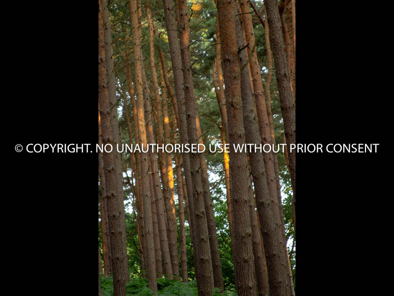 TREES AT SUNSET by Peter Westacott.jpg