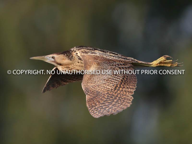 BITTERN IN FLIGHT by Neil Schofield.jpg