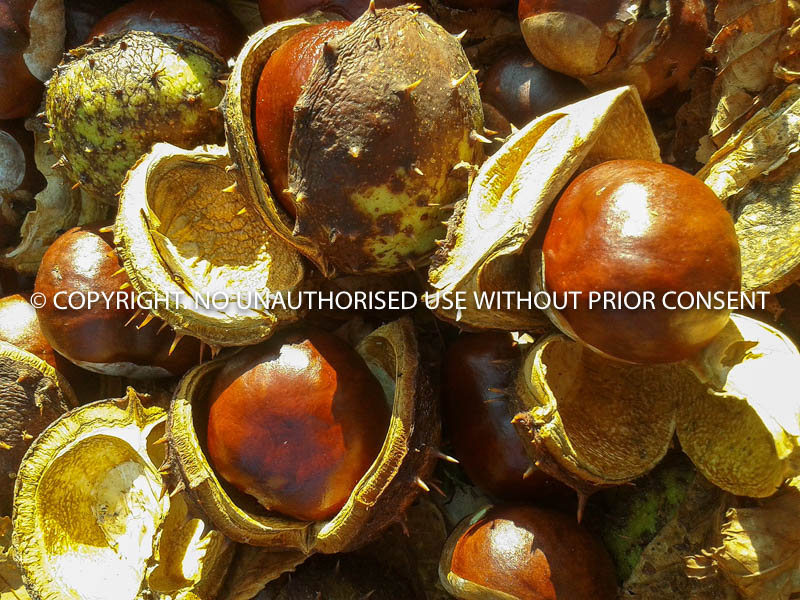CONKERS IN AUTUM SUNSHINE by Paula Burley.jpg
