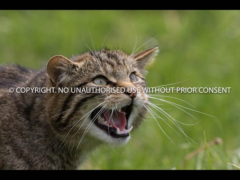 SCOTTISH WILDCAT by Angela McLean.jpg