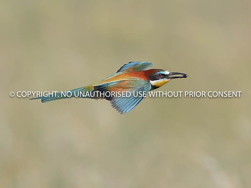 BEE EATER IN FLIGHT by Neil Schofield.jpg