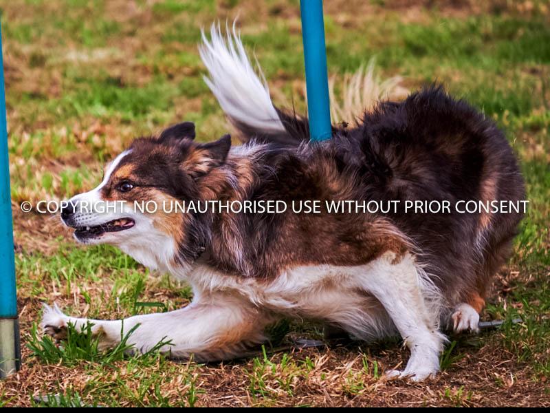 AGILITY DOG by Brian Munday.jpg