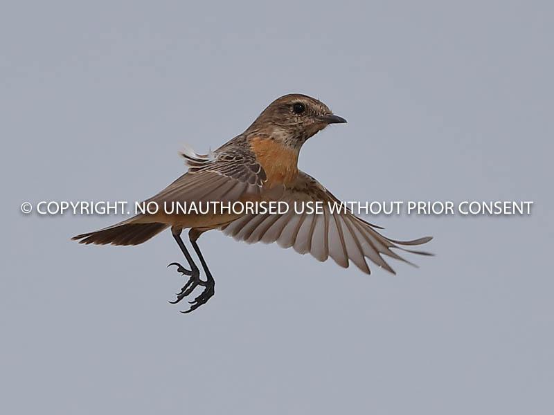 STONECHAT IN FLIGHT by Neil Schofield.jpg