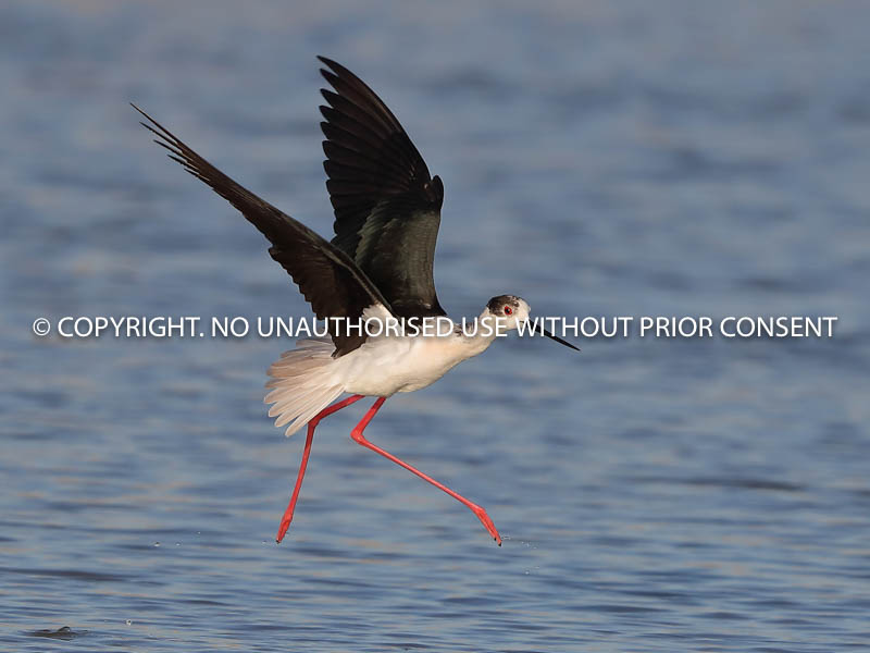 BLACKWING STILT IN FLIGHT by Neil Schofield.jpg