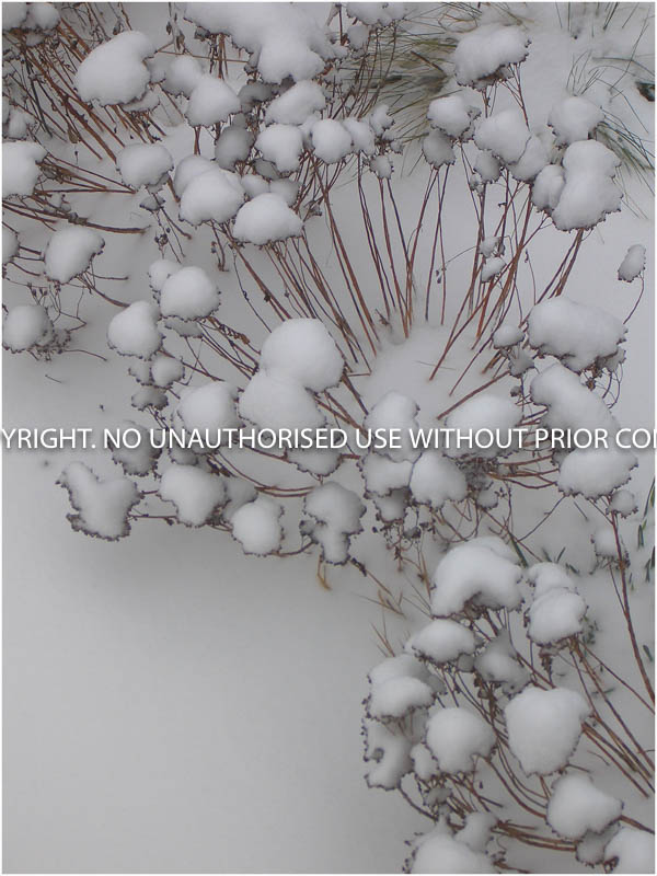 SNOW COVERED SEDUM HEADS by Paula Burley.jpg