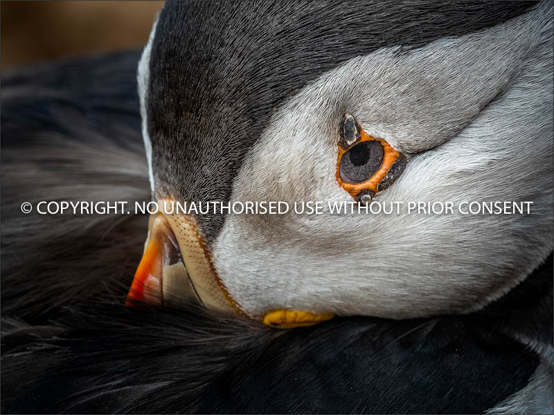 PUFFIN EYE by Colin Mill.jpg