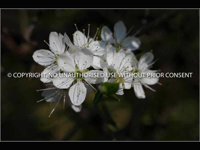 BLACKTHORN BLOSSOM by Christine Peel.jpg