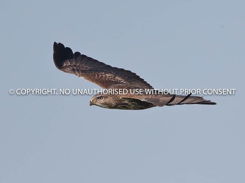 BUZZARD IN FLIGHT by Neil Schofield.jpg