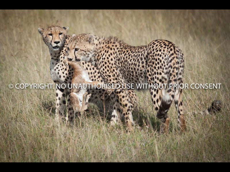 CHEETAH CAPTURES BABY GAZELLE by Dave Cromack.jpg