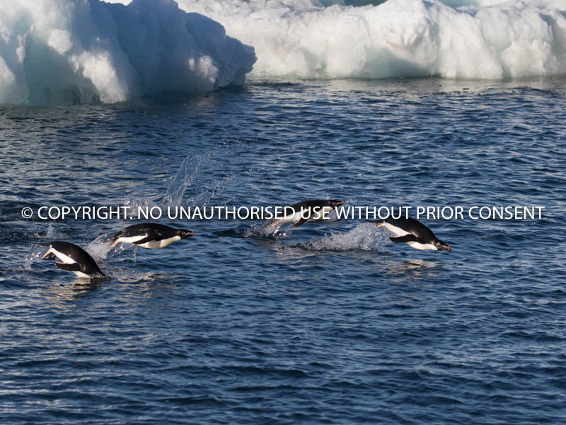 GENTOO PENGUINS by Angela McLean.jpg