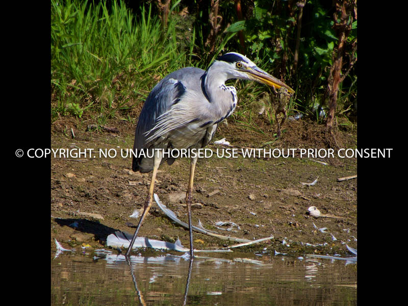 GREY HERON PREDATING FROG by Stephen Miller.jpg