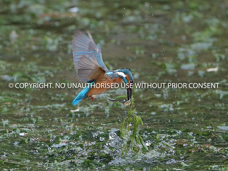 KINGFISHER FEEDING by Neil Schofield.jpg