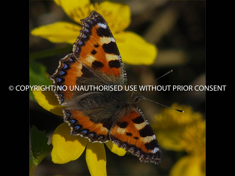 SMALL TORTOISESHELL by Clive Williams.jpg