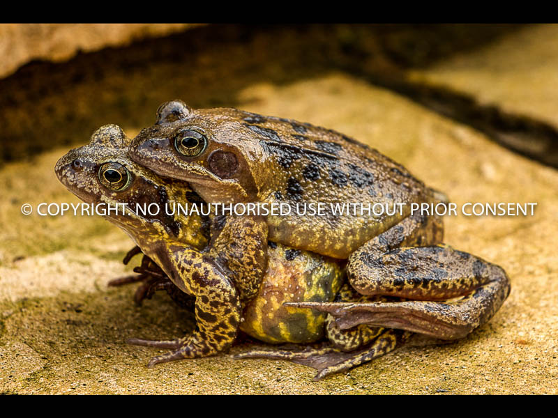 MATING FROGS by Dave Cooke.jpg