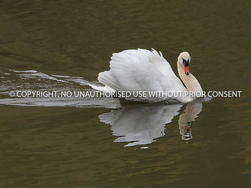 SWAN IN DEFENCE POSTURE by Ian Jackson.jpg
