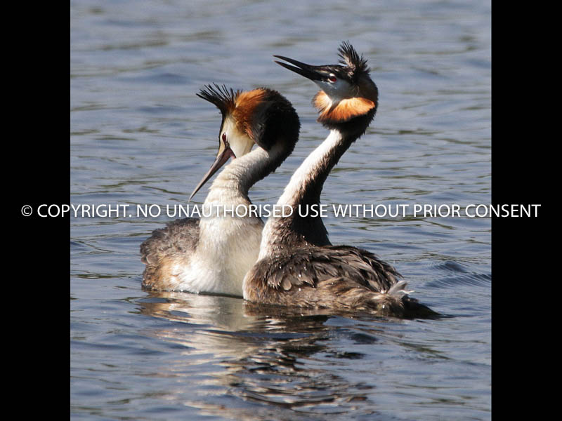 TWO GREBES MATING by John Warren.jpg
