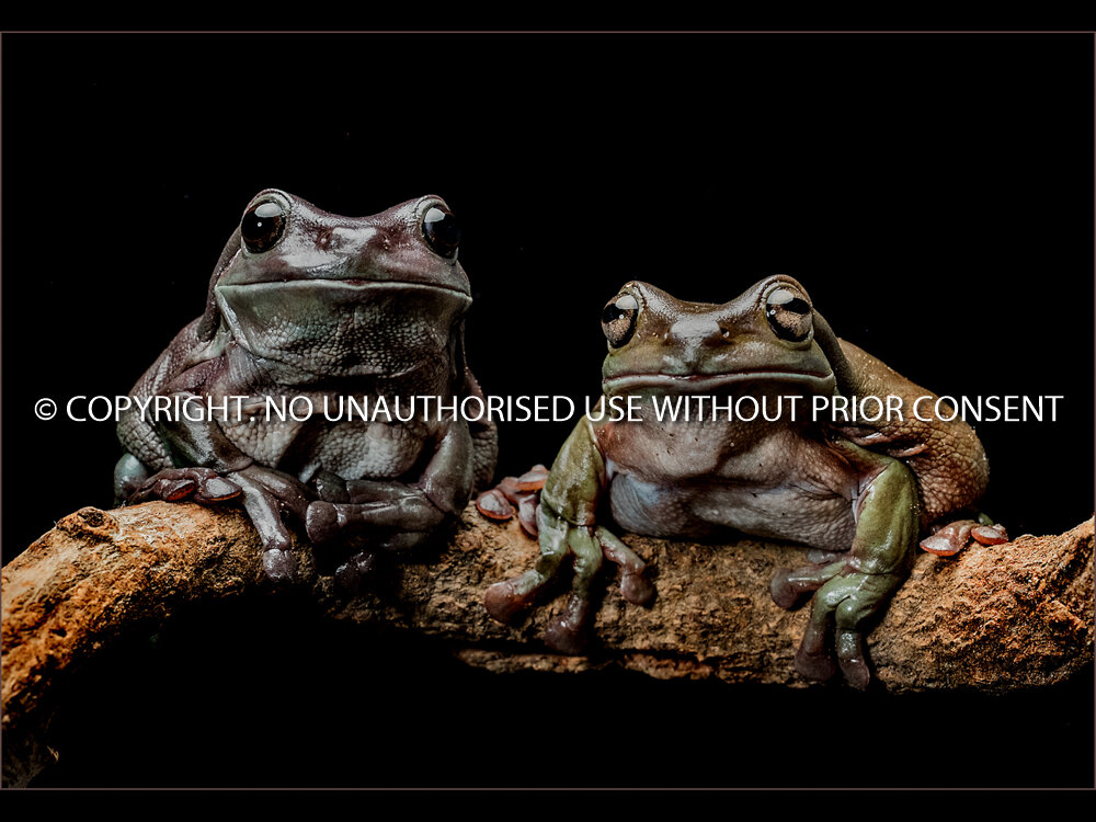 DUNNY FROGS by Graham Parsons.jpg