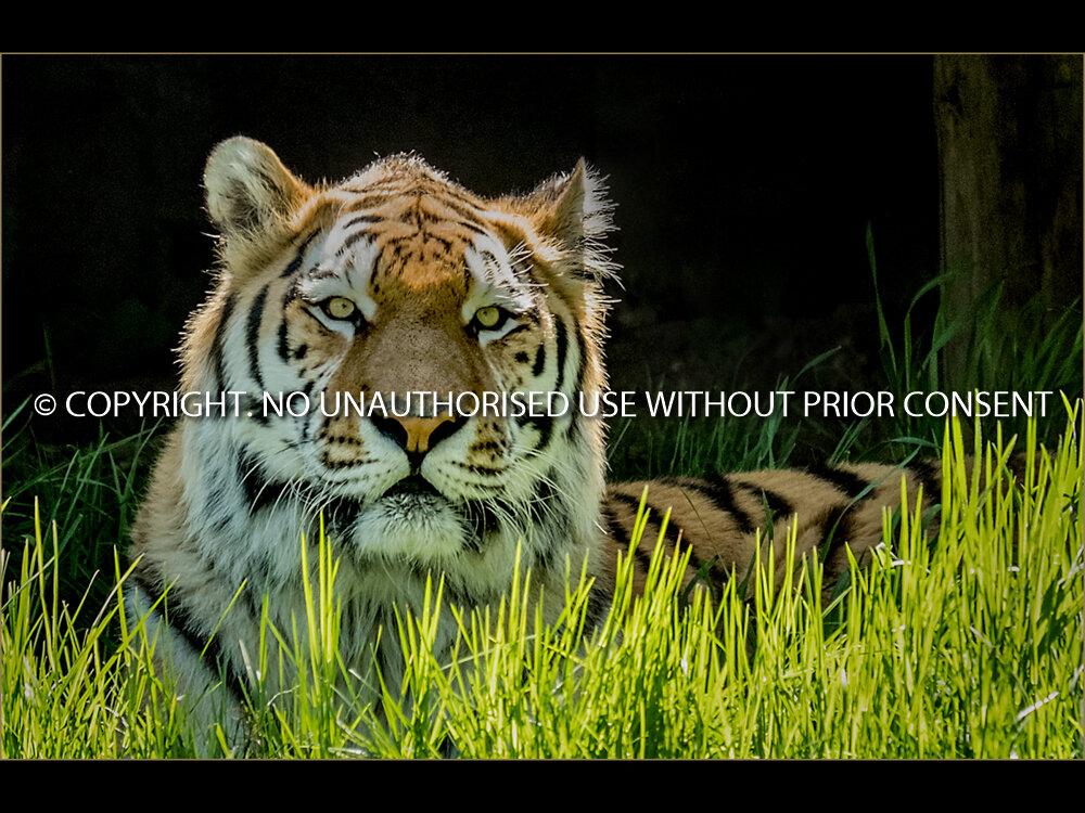 BIG CAT by Graham Parsons.jpg